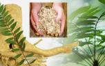 Những công dụng của rễ cây mật nhân với sức khỏe